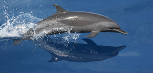 [Northeastern Spotted Dolphin]